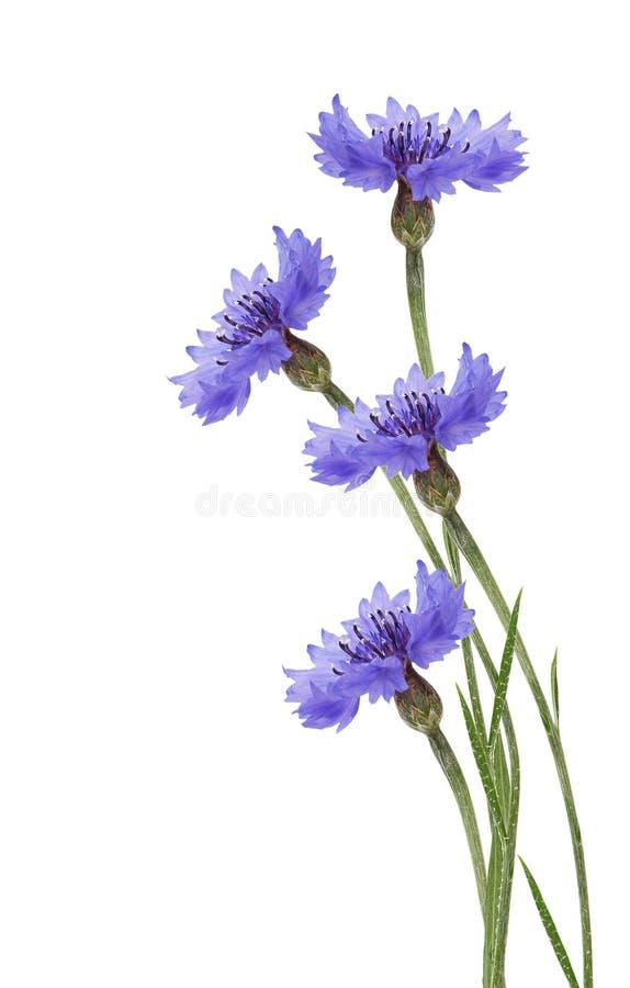 Blaue Maisblume lizenzfreie stockfotos