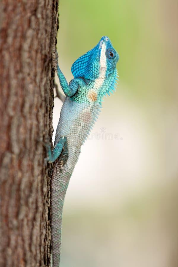 Blaue mit Haube Eidechse stockfotografie