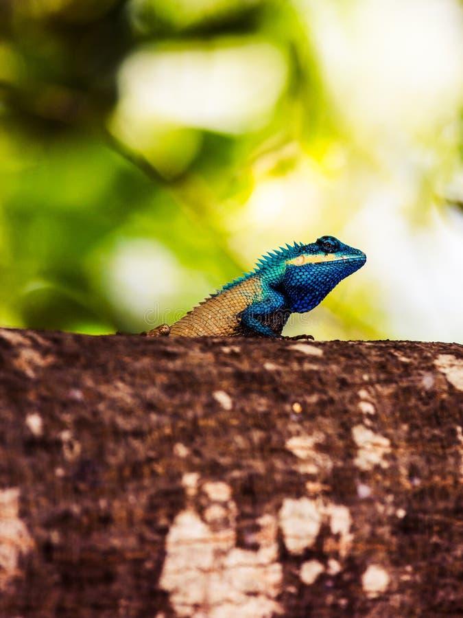 Blaue mit Haube Eidechse lizenzfreie stockfotografie