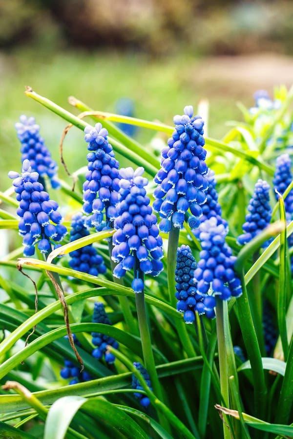 Blaue Muscari armeniacum Blume (Trauben-Hyazinthe) im Frühjahr blühend Garten stockfotografie