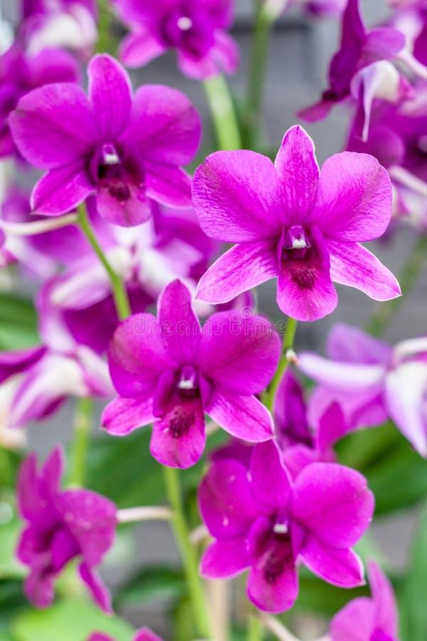 Blaue Orchidee stockfotografie