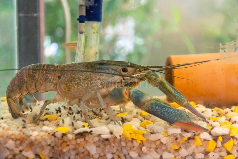 Blaue Panzerkrebspanzerkrebse, die in Aquarium auf Farbkies gehen lizenzfreies stockbild