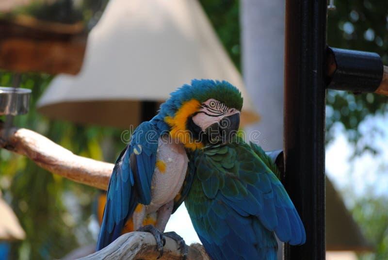 Blaue Papageien lizenzfreie stockbilder