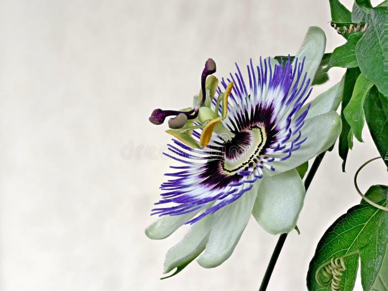Blue Passiflora, Passiflora caerulea, Heimat ist Nordargentinien und Südbrasilien. Blue passionflower - Passiflora caeruleaHome is northern Argentina and royalty free stock image