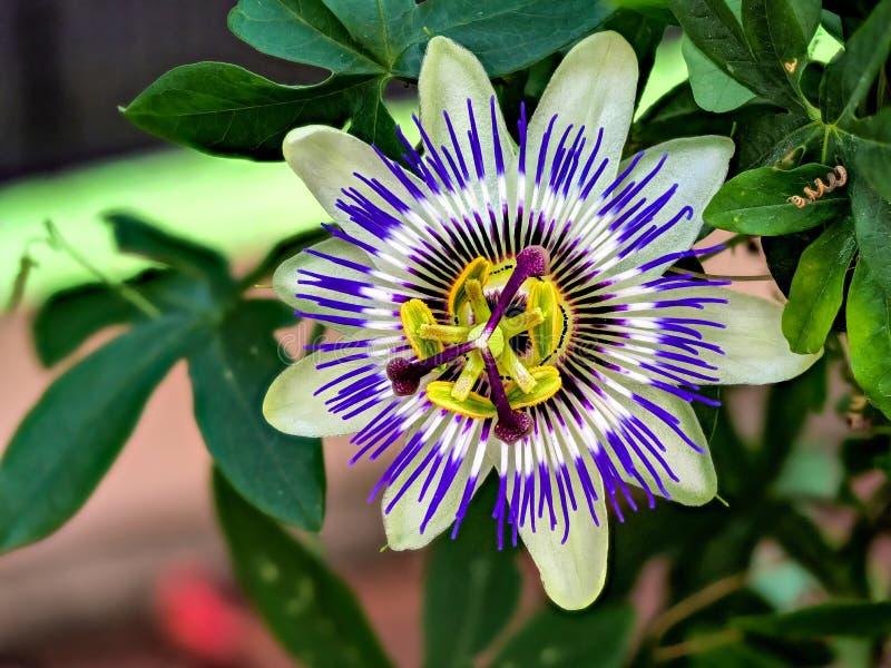 Blaue Passiflora, Passiflora caerulea, Heimat ist Nordargentinien und Südbrasilien. Blue passionflower - Passiflora caerulea stock images