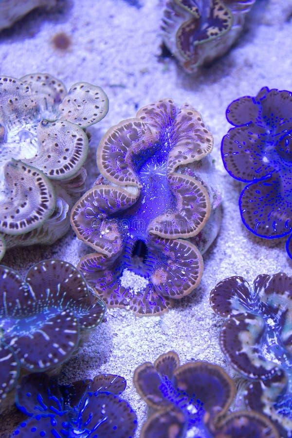 Blaue purpurrote Goldriesenmuscheln lizenzfreie stockfotografie