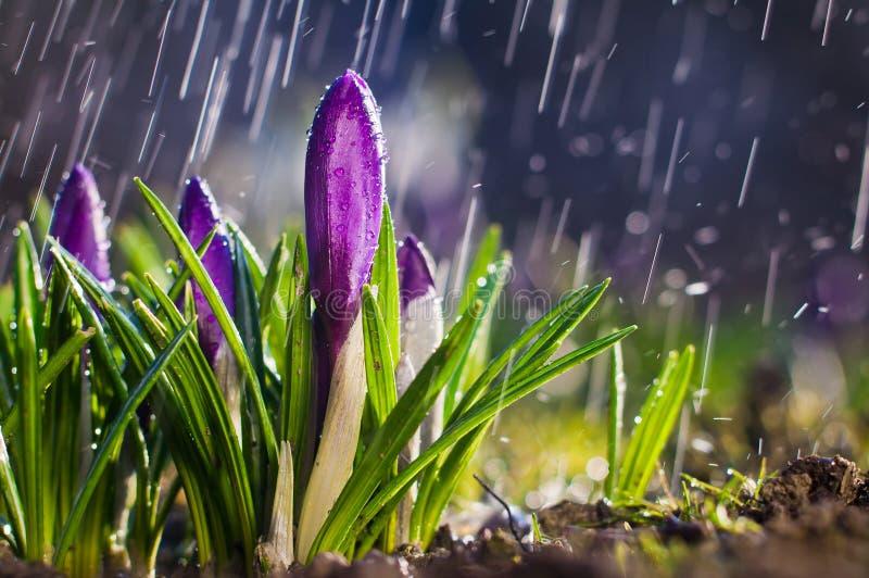 Blaue purpurrote Krokusse der Frühlingsblume an einem sonnigen Tag in einem Spray von