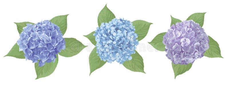 Blaue, purpurrote, sapphirine Blume der Hortensie, mophead, lacecap, panicle Saisonbetriebs-, des Blattes und der Kr?utergro?e Ve stock abbildung
