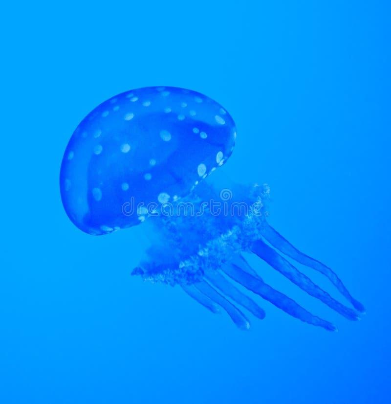 Blaue Quallen stockfotografie
