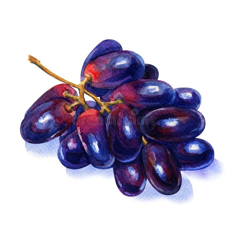 Blaue reife Traubenfrucht, Bündel lokalisiert, Aquarellillustration auf Weiß stock abbildung