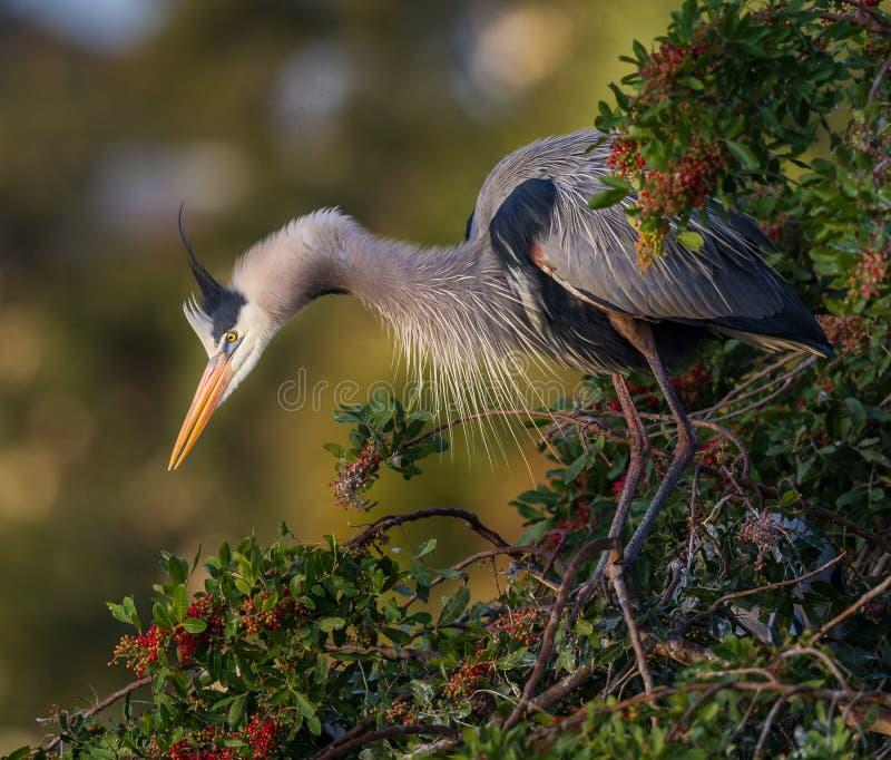 Blaue Reiherausdehnungen für Nestmaterial lizenzfreie stockfotos