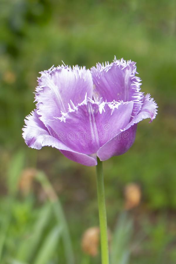 Blaue Reihertulpen-Blumennadel Variations, ein stolzer Kopf eines empfindlichen lila Purpurs der Tulpe stockfotografie