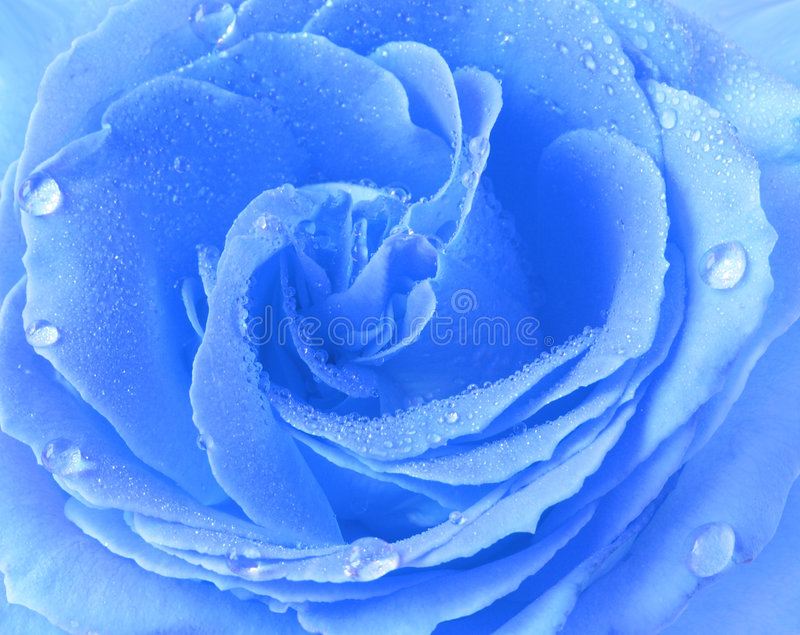 Blaue Rose stockfoto