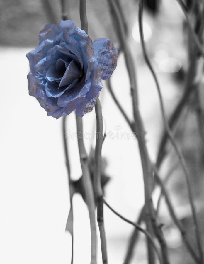 Blaue Rose stockfotos