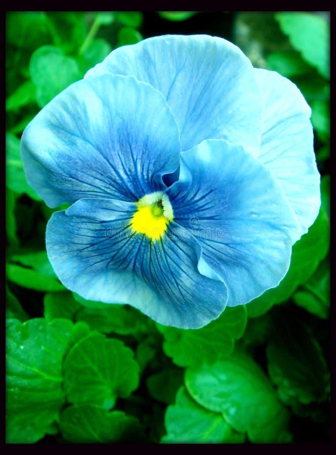 Blaue schöne Violablume im schwarzen Segeltuchhintergrund stockfotos
