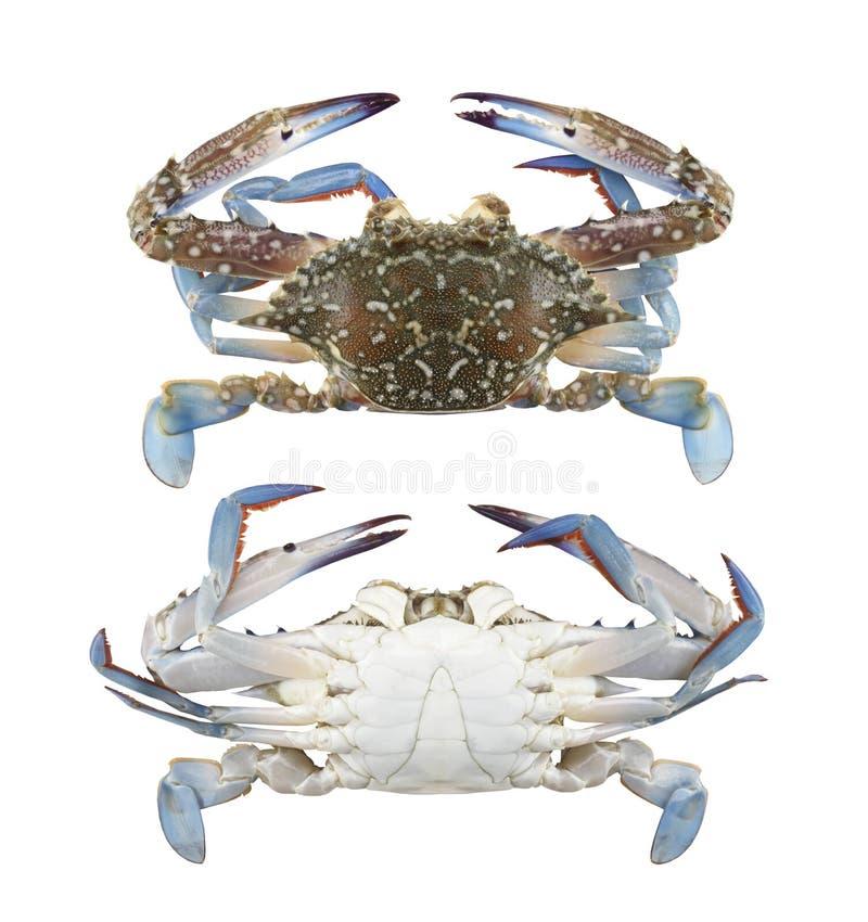 Blaue Schwimmerkrabbe der Frische oder blaue Mannakrabbe lokalisiert auf Weiß lizenzfreies stockfoto
