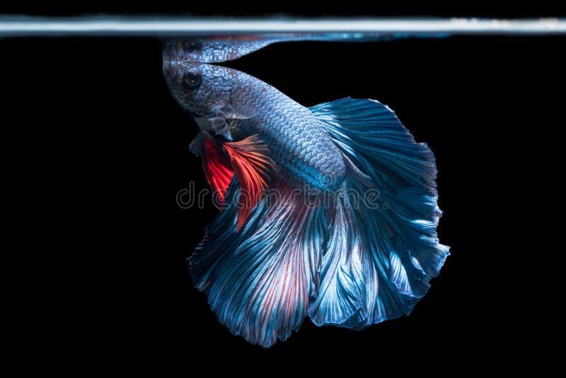Blaue siamesische kämpfende Fische, betta splendens lokalisiert auf schwarzem Ba stockbild