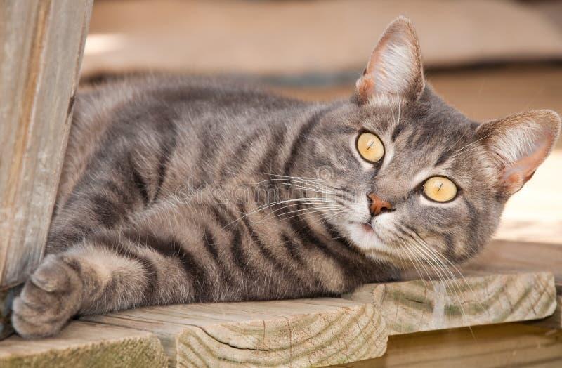 Blaue Tabbykatze mit auffallenden gelben Augen lizenzfreies stockfoto