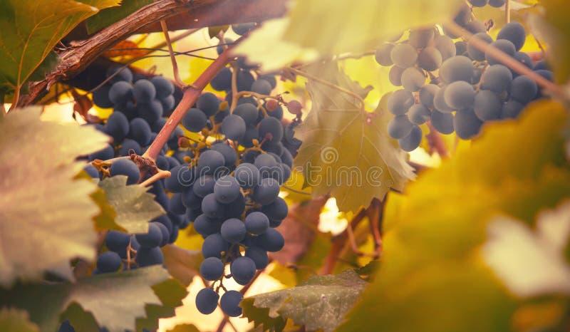 Blaue Trauben auf der Rebe, Weinvielzahl im Weinberg, natürlicher Hintergrund des Herbstes, selektiver Fokus lizenzfreie stockbilder
