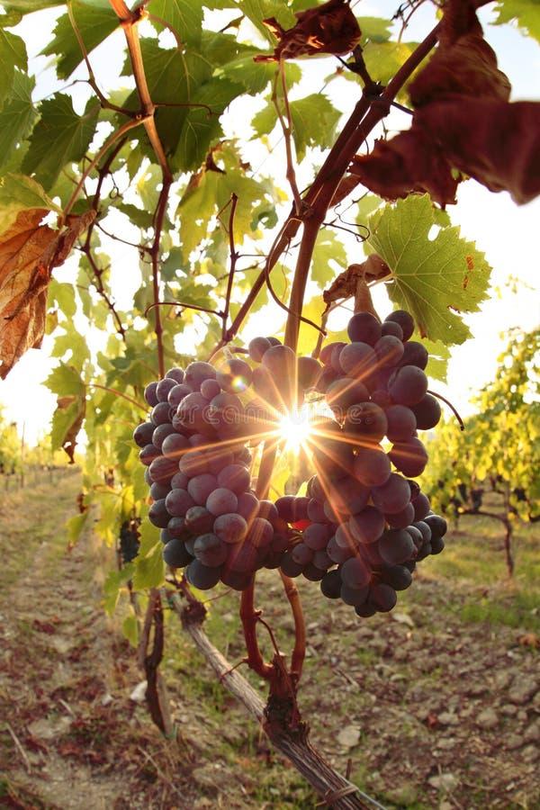 Blaue Trauben gegen Sonnenuntergang in den Weinbergen lizenzfreie stockbilder
