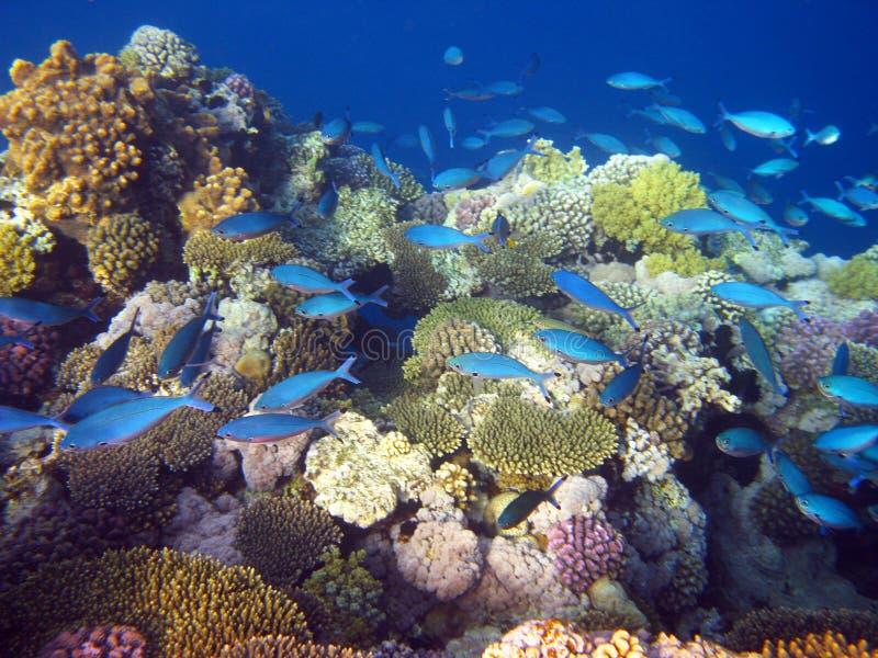 Blaue tropische Fische lizenzfreie stockfotografie