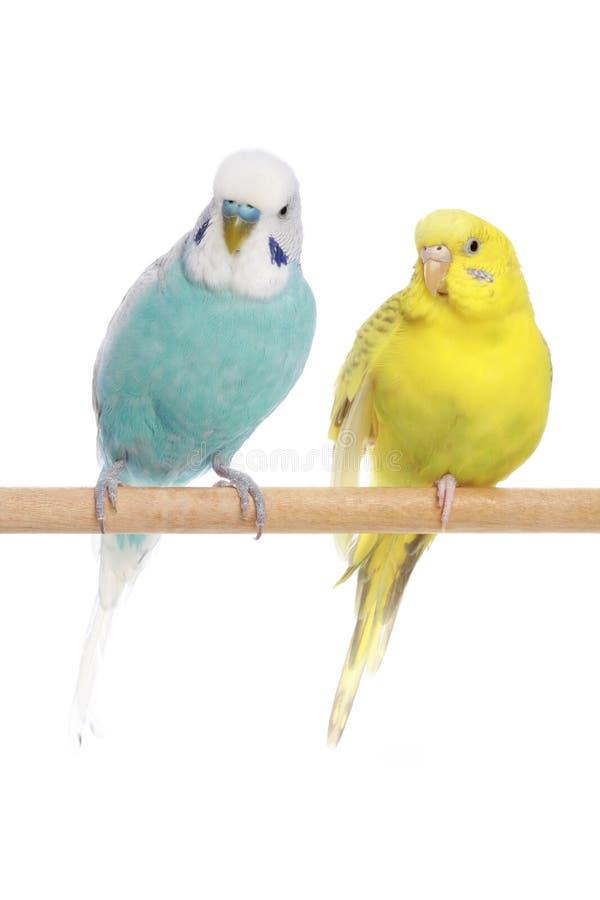 Blaue und gelbe Budgerigars auf einem Zweig stockbild