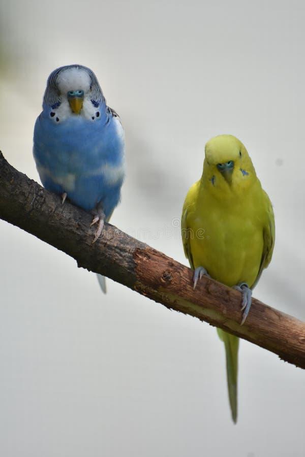 Blaue und gelbe gemeine Sittiche, die auf einer Niederlassung sitzen lizenzfreies stockbild
