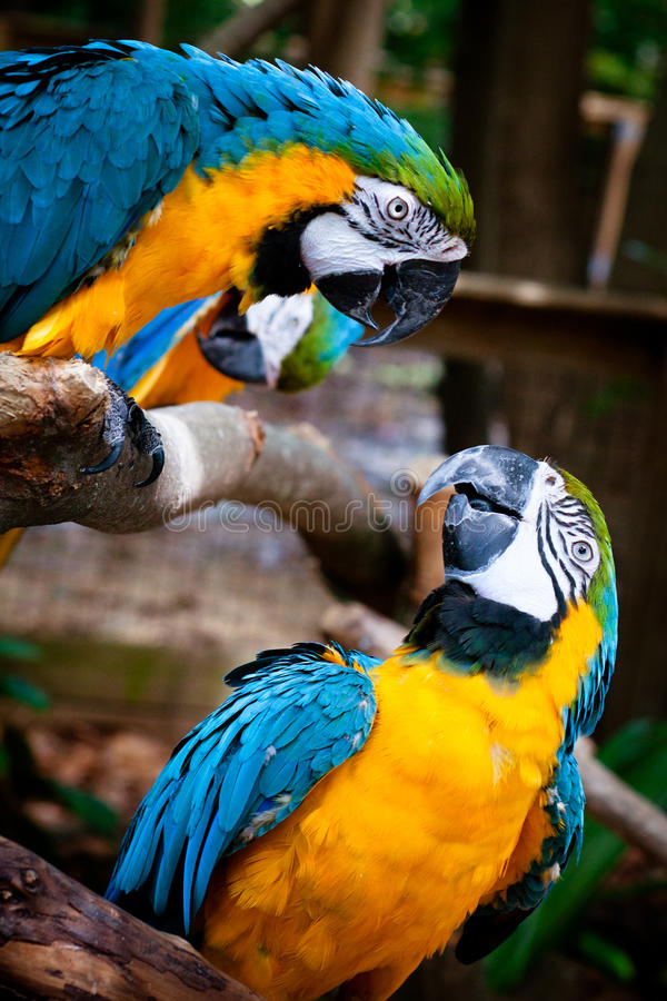 Blaue und gelbe Macaws. lizenzfreies stockfoto