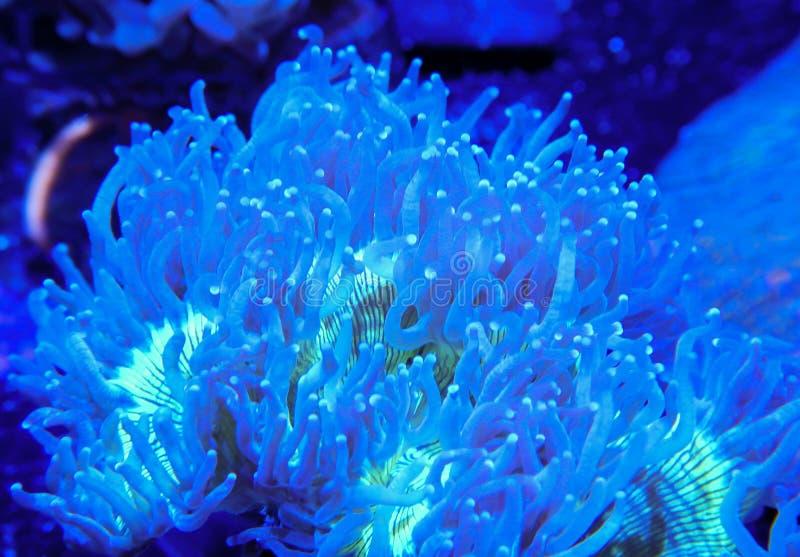 Blaue und grüne Eleganz Coral Tentacles Extended in gegenwärtiges stockfoto