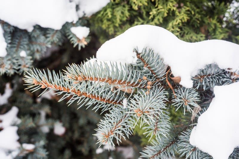 Blaue und grüne Tannenzapfen und Nadeln unter dem Schnee lizenzfreies stockbild