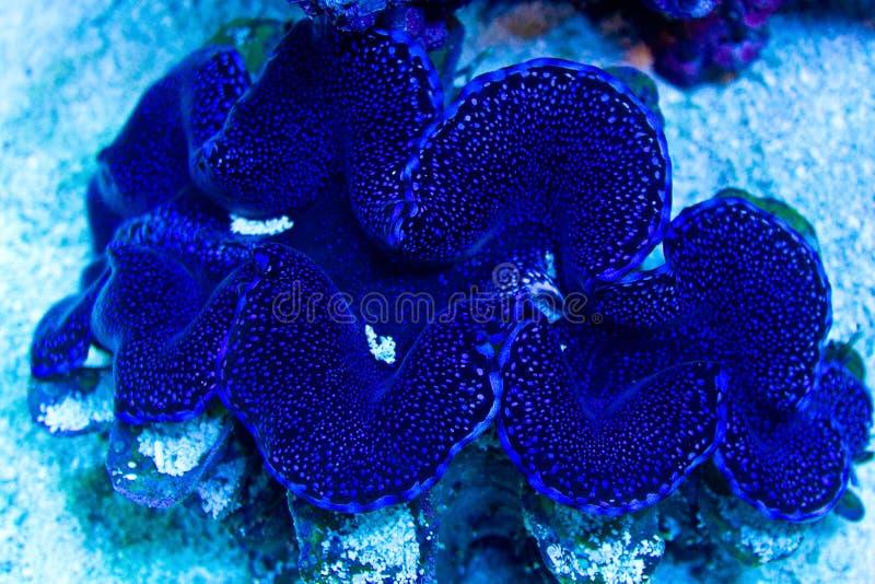 Blaue und purpurrote Riesenmuscheln lizenzfreies stockfoto