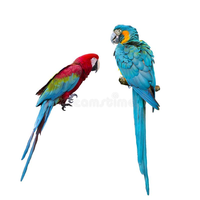 Blaue und rote Keilschwanzsittich-Papageien auf weißem Hintergrund stockbilder