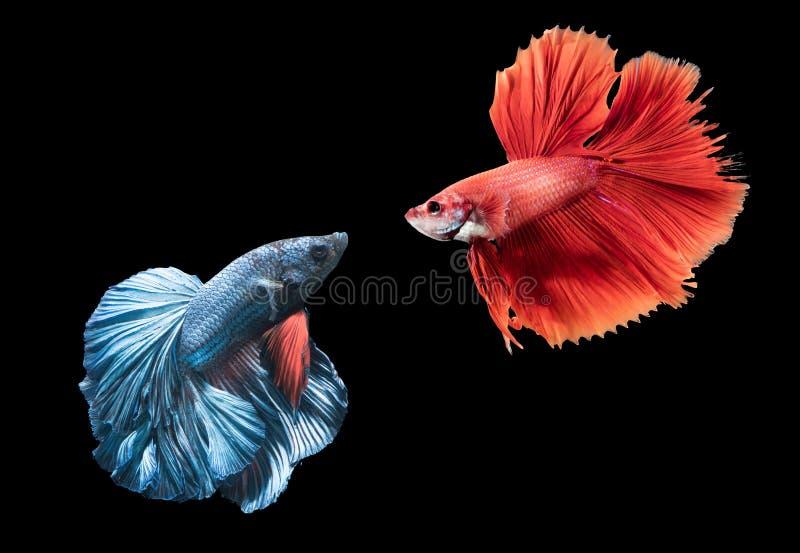 Blaue und rote siamesische kämpfende Fische auf Schwarzem lizenzfreies stockfoto