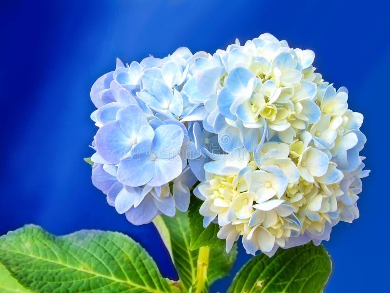Blaue und weiße Blumen der Hortensie stockbild
