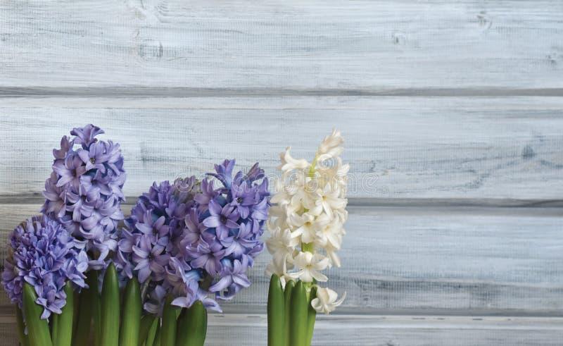 Blaue und weiße Hyazinthen stockbild. Bild von farbband - 88693581
