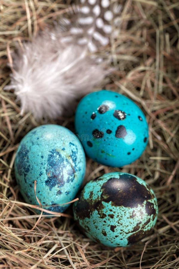 Blaue Wachteleier im natürlichen Nest mit kleiner Wachtelfeder, vertikale Zusammensetzung lizenzfreie stockbilder