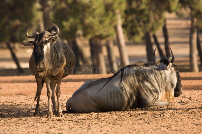 Blaue Wildebeestsantilopen lizenzfreie stockbilder