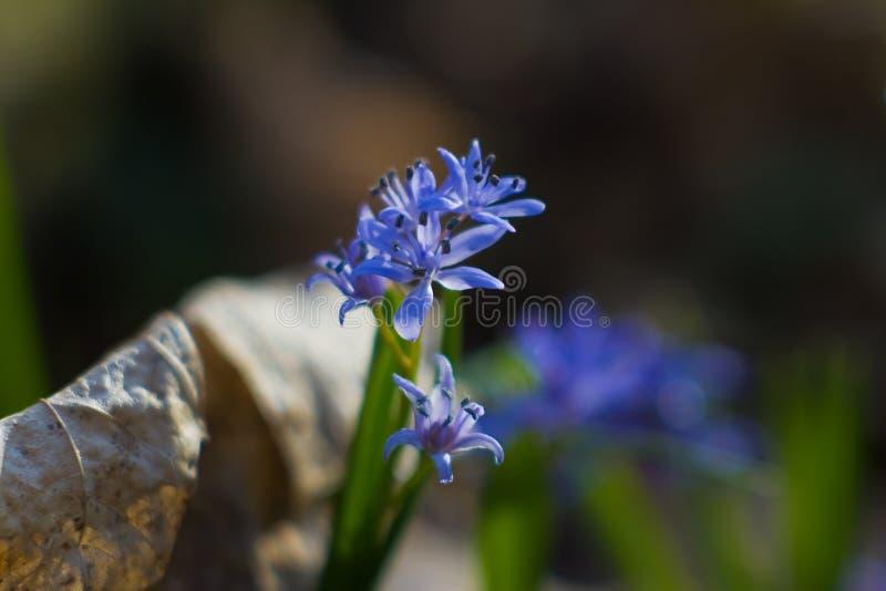 Blaue zarte Blumen von Meerzwiebel Scilla-bifolia L in den hellen Strahlen der Frühlingssonne in einer hölzernen, unscharfen Hint stockfotografie