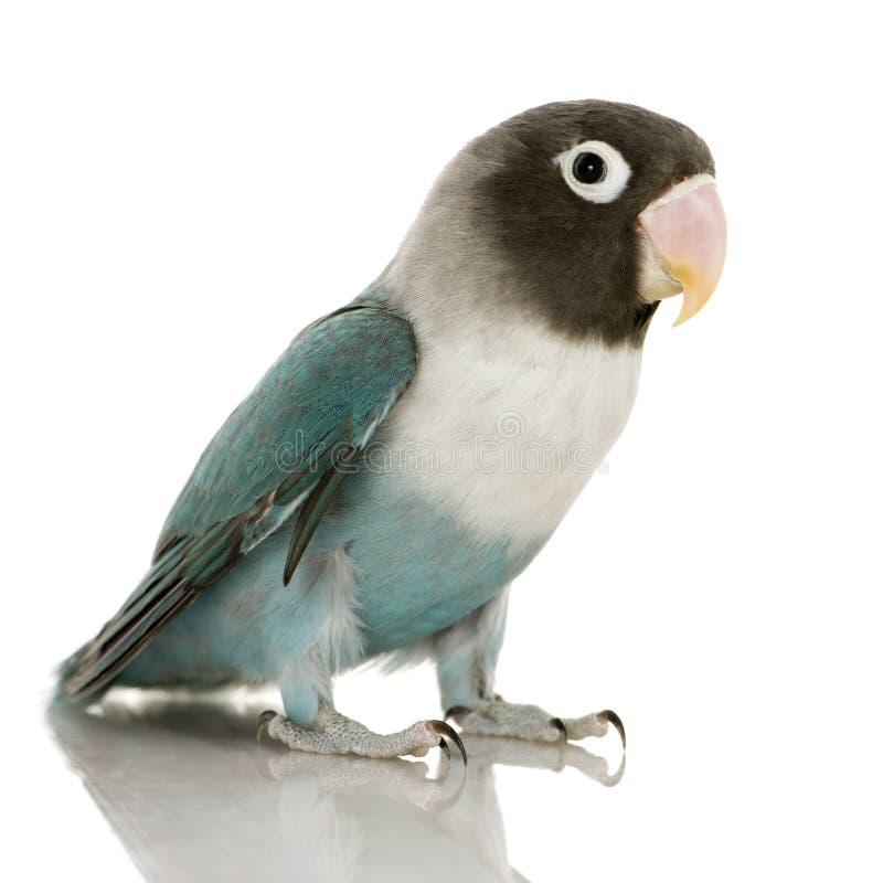 Blauer abgedeckter Lovebird - Agapornis personata lizenzfreies stockfoto
