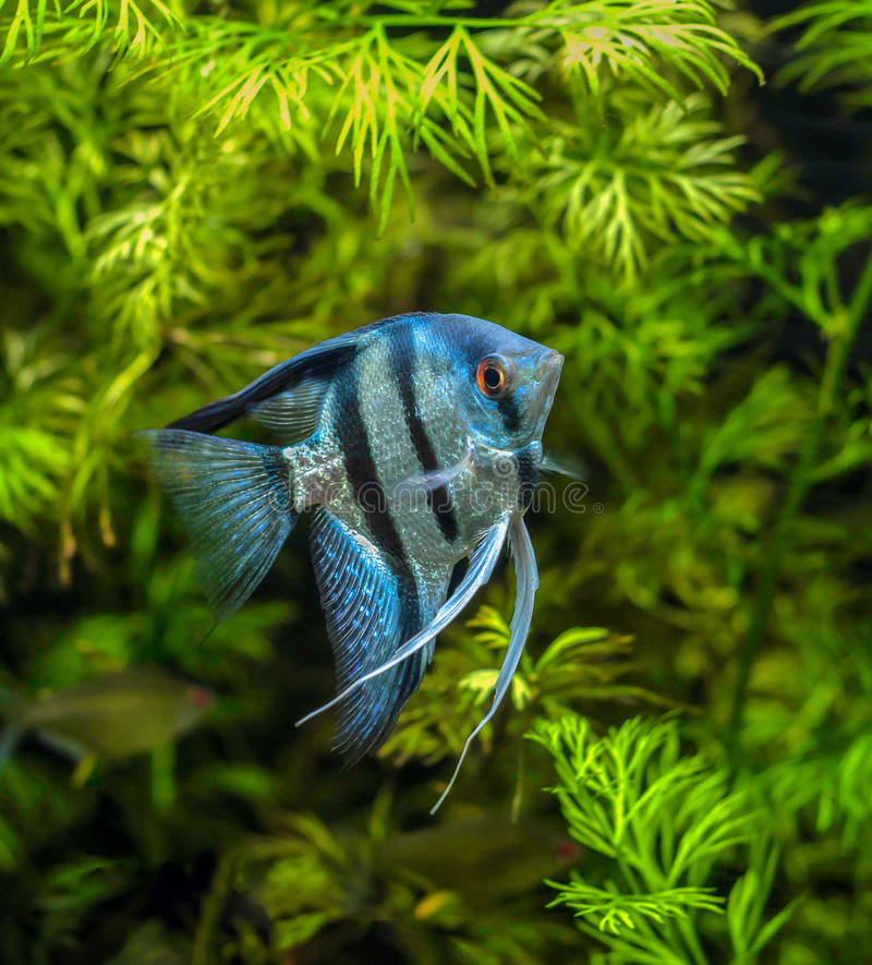 Blauer Angelfish stockfotografie