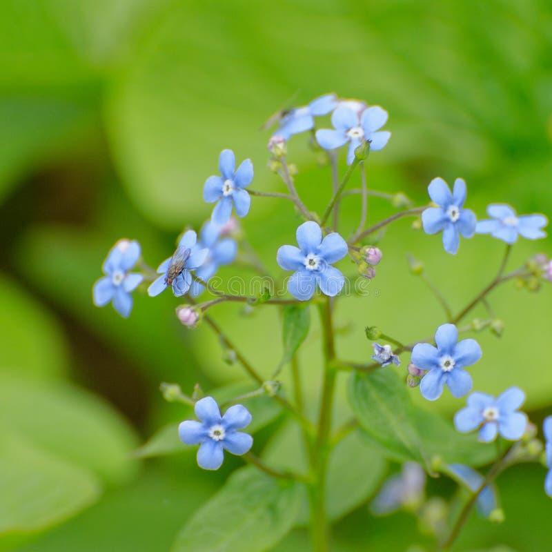 Blauer blühender Myosotis und Fliege auf ihr lizenzfreie stockfotos