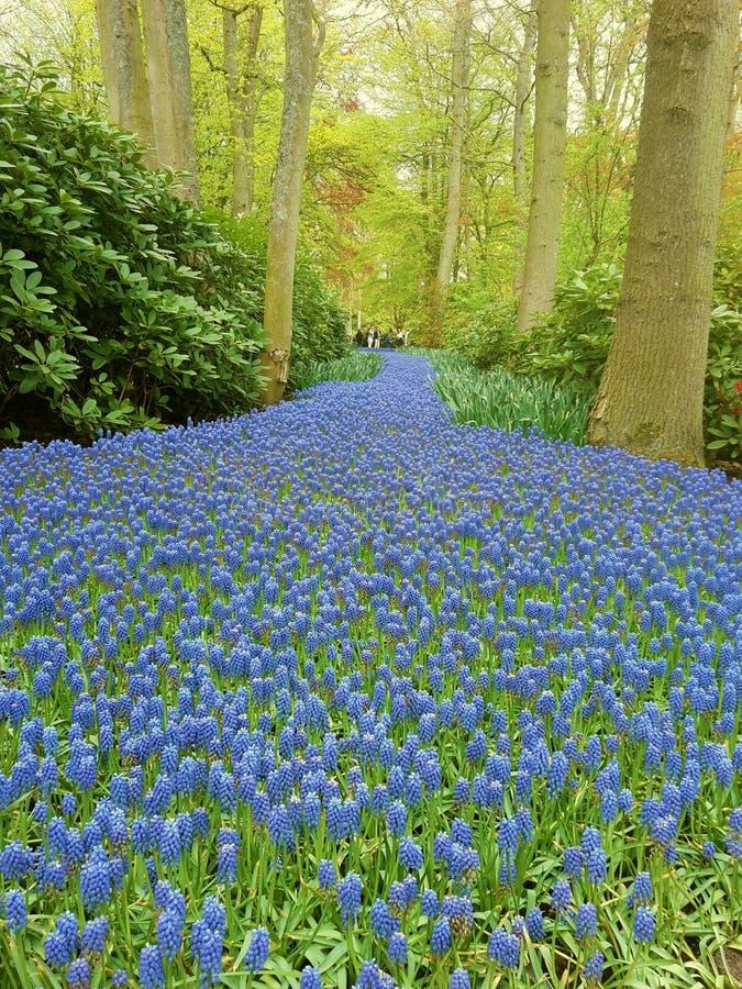 Blauer Blumenteppich in Keukenhof stockbild