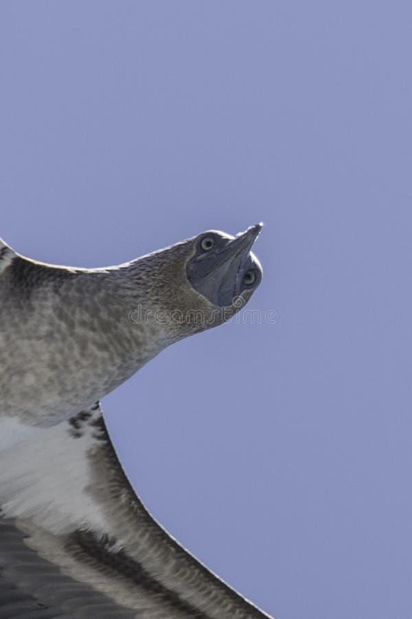Blauer Dummkopf Galapagos im Flug lizenzfreie stockfotografie