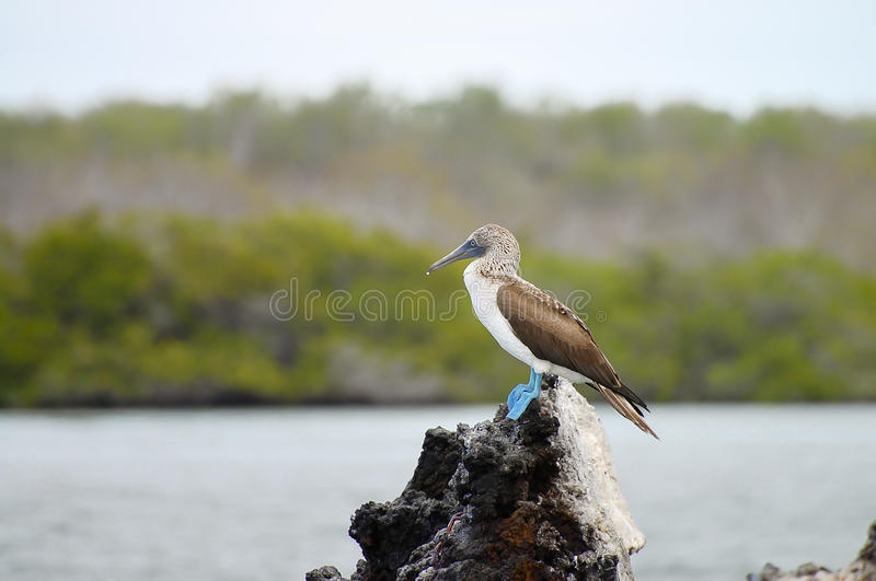 Blauer füßiger Dummkopf - Galapagos - Ecuador stockfotografie