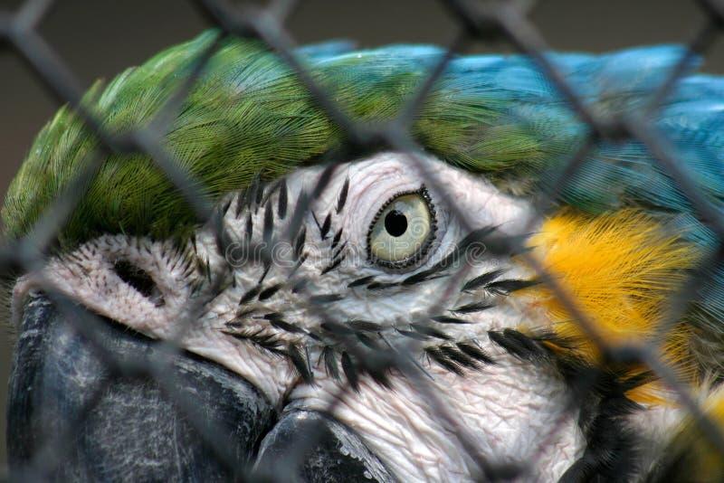 Blauer Gelber Macaw In Der Gefangenschaft Stockfotografie