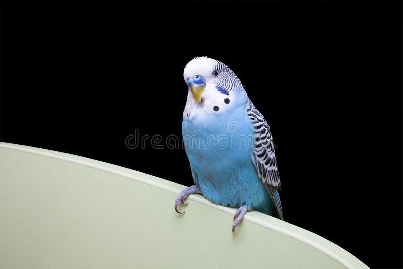 Blauer gewellter Papagei stockbilder
