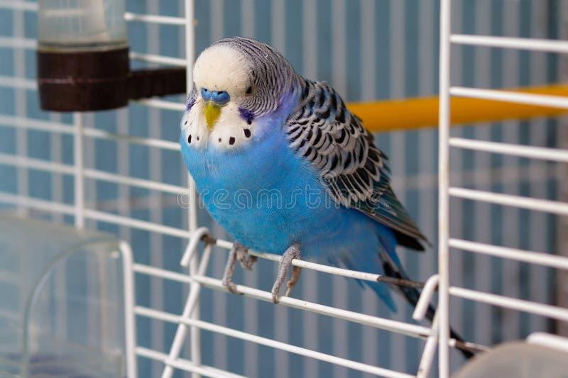 Blauer gewellter Papagei sitzt am Ausgang des Käfigs lizenzfreies stockbild