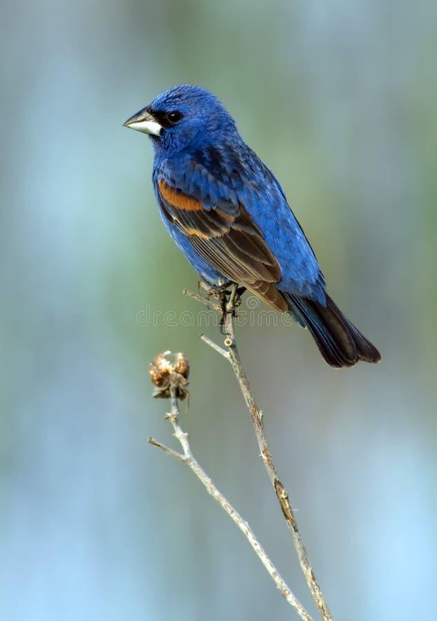 Blauer Grosbeak (Mann) stockfotos