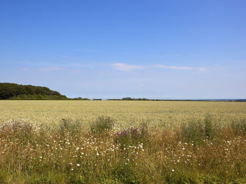 Blauer Himmel über reifenden Weizenfeldern und Sommer Wildflowers lizenzfreie stockfotografie