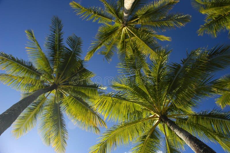 Blauer Himmel der KokosnussPalmen stockfotografie